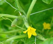 Выращивание лазающих овощных культур с использованием шпалерной сетки