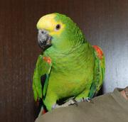 Попугай амазон – разные виды амазонов