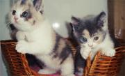 Плюшевые шотландские и британские котята
