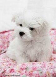 Мальтезе маленькая комнатная собачка