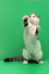 Подарок для любимых шотландский котенок