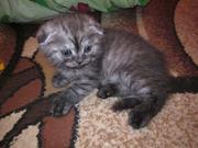 Котята вислоухие и страйт
