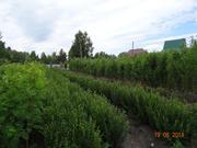 Продаю в Кургане посадочный материал деревьев и кустарников