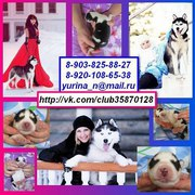 Хаски черно-белых красивенных щенков с яркими-яркими голубыми глазами♥