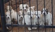 Продаются щенки азиаты